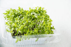 Garden cress organic sprouting seedlings Stock Photography
