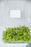 Garden cress organic sprouting seedlings Royalty Free Stock Image