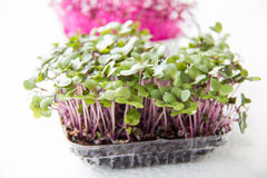 Garden cress organic sprouting seedlings Royalty Free Stock Images