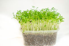 Garden cress seedlings Stock Photography