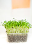 Garden cress seedlings Royalty Free Stock Images