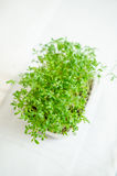 Garden cress seedlings Royalty Free Stock Photos