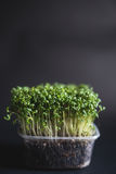 Garden cress seedlings Stock Photo
