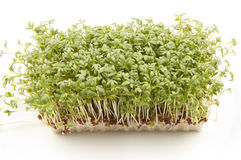 Garden Cress or Sprouts. Block of growing garden cress or sprouts Royalty Free Stock Photos