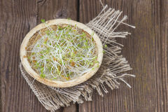 Garden cress sprouts Stock Images