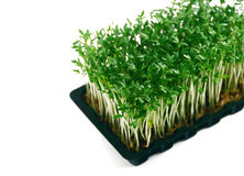 Garden cress in tray on white. Close-up of garden cress in tray on white background stock images