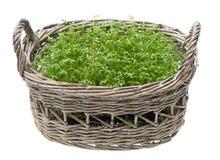 Garden cress in wicker basket Stock Photography