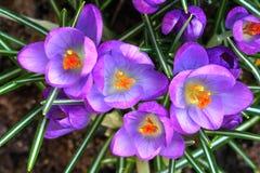 Garden crocus Stock Image