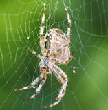 Garden cross spider. In detail Royalty Free Stock Images