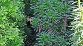 Garden cross spider, Araneus diadematus, building net, time lapse. Garden cross spider, Araneus diadematus, building it`s net, time lapse stock video footage