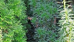Garden cross spider, Araneus diadematus, building net, time lapse. Garden cross spider, Araneus diadematus, building it`s net, time lapse stock footage