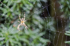 Garden cross spider, Araneus diadematus, waiting in net. Garden cross spider, Araneus diadematus, waiting in it`s net Stock Image