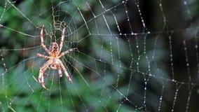 Garden cross spider, Araneus diadematus, waiting in net. Garden cross spider, Araneus diadematus, waiting in it`s net stock video footage