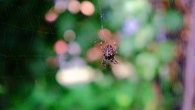 Garden cross spider feasting on its prey. Close up, blurred background, Araneus diadematus stock footage