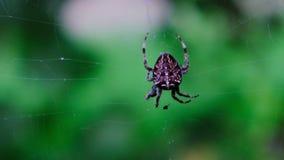 Garden cross spider feasting on its prey. Close up, blurred background, macro closeup view, Araneus diadematus stock video