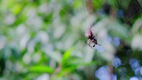 Garden cross spider feasting on its prey. Close up, blurred background, Araneus diadematus stock video footage