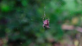 Garden cross spider feasting on its prey. Close up, blurred background, Araneus diadematus stock video