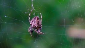 Garden cross spider feasting on its prey. Close up, blurred background, macro closeup view, Araneus diadematus stock video footage