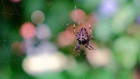 Garden cross spider feasting on its prey. Close up, blurred background, macro closeup view, zoom in, Araneus diadematus stock video footage