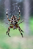 Garden cross spider hunting on a spiderweb Royalty Free Stock Photography