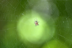Garden cross spider in the middle of its web Royalty Free Stock Photos
