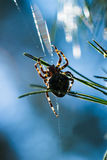 Garden Cross spider on pine branch. Garden Cross spider Araneus diadematus on pine branch Stock Photo