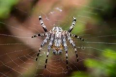 The cross spider  Araneus diadematus. The Garden cross spider sitting on web - Araneus diadematus - closeup - macro Stock Photos