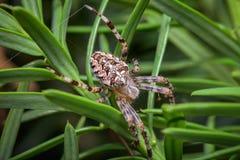 The cross spider  Araneus diadematus. The Garden cross spider sitting on web - Araneus diadematus - closeup - macro Stock Photography