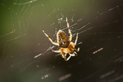 Garden cross spider on the spiderweb. Garden cross spider (Aradeus diadematus) on the spiderweb Stock Photos