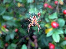 Garden Cross Spider. In web Royalty Free Stock Images