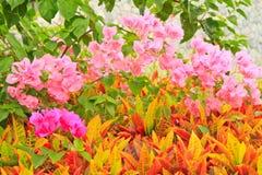 Garden croton Stock Images