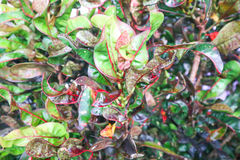 Garden croton or codiaeum variegatum. Garden croton,variegated laurel or codiaeum variegatum Royalty Free Stock Photo