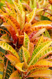 Garden Croton Stock Photography