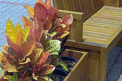 Garden croton in decorative vase next to garden bench Stock Image