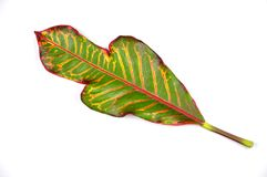 Garden croton leaf stock images
