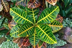 Free Garden Croton Plant Striking Foliage Background Royalty Free Stock Images - 93411359