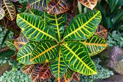 Garden croton plant striking foliage background. Tropical plant colorful leaves. Codiaeum variegatum, croton royalty free stock images