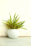 Garden Croton in the white pot. For decorative house Royalty Free Stock Images