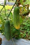 Garden cucumber Stock Photography
