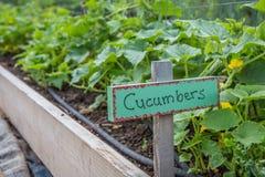 Free Garden Cucumbers Stock Images - 96846404