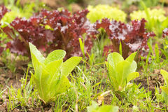 Garden cultivated with green and purple lettuces. Stock Image