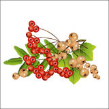 Garden currant and mountain ash in a set. Stock Image