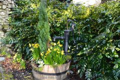 Garden daffodil barrel Stock Images