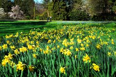 Garden and daffodils Royalty Free Stock Image
