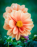 Garden Dahlia. The dahlia is one of the most beautiful flowers to photograph Stock Photography