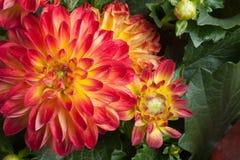 Garden Dahlia Stock Image