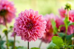 Garden Dahlia flower Stock Photo