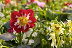 Garden with dahlias Royalty Free Stock Images