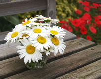Garden daisies Stock Photos