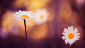 Garden daisies Royalty Free Stock Photography